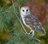 Barn Owl, Captured