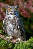 horned owl, captured