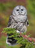 Barred Owl, captured