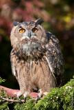 European Eagle-owl (Bubo bubo), captured