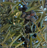 olives in California