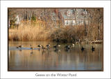 geese on the winter pond
