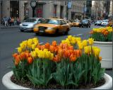 Tulips in Containers in NYC