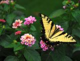 Lantana and the butterfly...
