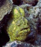 frog fish (Antennarius multiocellatus)