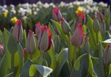 tulips not yet opened