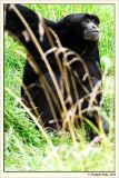 Lesser Ape
