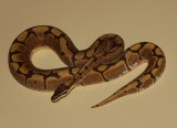 Ball Python (Spider Morph)