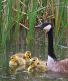 geese-family.jpg