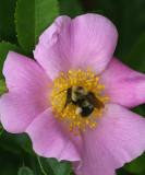bumblebee-3.jpg