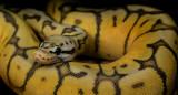 Ball Python (Killerbee Morph)