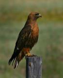 Redtail Hawk (Dark Morph)