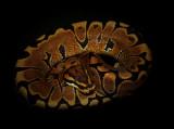 Ball Python (Woma Morph)