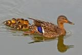 Mom Mallard with ducklings
