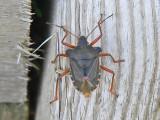 Rödbent bärfis - Pentatoma rufipes - Forest Bug