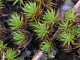 Polytrichum piliferum - Hårbjörnmossa - Bristly Haircap