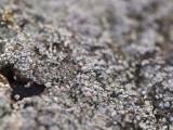 Klubblav - Dibaeis baeomyces - Pink earth lichen