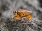 Tvåvingar - Diptera