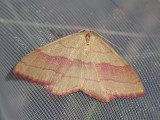 Lädermätare - Rhodostrophia vibicaria - Common pink-barred