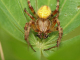 Kvadratspindel - Araneus quadratus - Four spot orb weaver