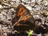 Skogsgräsfjäril - Erebia  ligea - Arran Brown