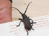 Videbock - Lamia textor - Weaver beetle