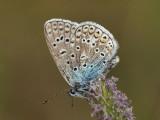 Puktörneblåvinge - Polyommatus icarus - Common Blue