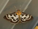 Vitt nässelmott - Eurrhypara hortulata - Small Magpie