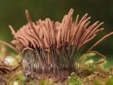 Slemsvampar - Slime molds