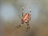 Korsspindel - Araneus diadematus - European Garden Spider