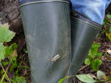 Större aspvedbock - Saperda carcharias - Large Poplar Borer