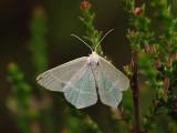 Årets fjärilar - Butterflies and moths 2010