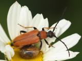 Gulröd blombock - Stictoleptura rubra - Red Longhorn Beetle