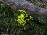 Trollsmör - Fuligo septica - Dog's Vomit Slime Mold