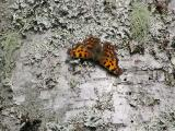 Vinbärsfuks. Comma Butterfly. Polygonia c-album