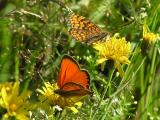 Skogsnätfjäril och Vitfläckig guldvinge - Melitaea athalia och Lycaena virgaureae - Heath fritillary and Scarce copper