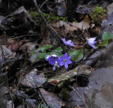 Blåsippa. (Hepatica nobilis)