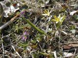 Smånunneört och vårlök. (Corydalis intermedia och Gagea lutea)