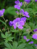 Midsommarblomster (Geranium silvaticum)