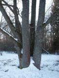 Rödfärgsalg (Trentepohlia umbrina)