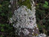 Skrynkellav (Parmelia sulcata)