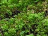 Praktstjärnmossa (Plagiomnium undulatum)