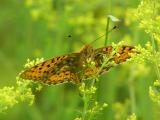 Ängspärlemorfjäril - Argynnis aglaja - Dark Green Fritillary