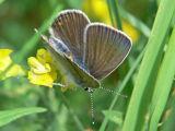 Silverblåvinge (hona) - Polyommatus amandus - Amanda's Blue (female)