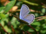 Hedblåvinge (hanne) - Plebejus idas - Idas Blue or Northern Blue (male)