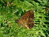 Älggräspärlemorfjäril - Brenthis ino - Lesser Marbled Fritillary