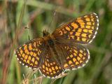 Skogsnätfjäril - Melitaea athalia - Heath Fritillary