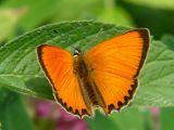Vitfläckig guldvinge (hane) - Lycaena virgaureae - Scarce Copper (male)