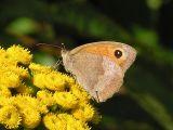 Slåttergräsfjäril (hona) - Maniola jurtina - Meadow Brown (female)