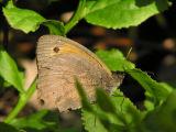 Slåttergräsfjäril (hanne) - Maniola jurtina - Meadow Brown (male)